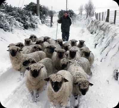Sheep On farm in Snow